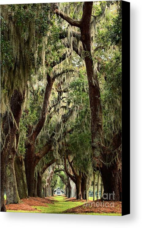 Avenue Of The Oaks Canvas Print featuring the photograph Hanging Moss And Giant Oaks by Adam Jewell