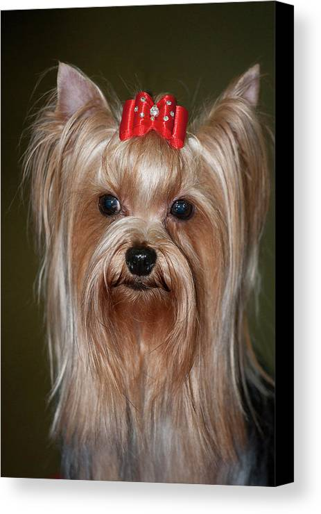 Bow Canvas Print featuring the photograph Headshot Of Show Yorkshire Terrier by Piperanne Worcester