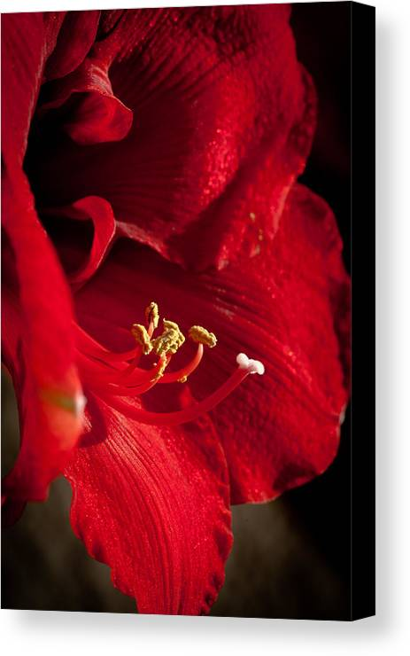 Hippeastrum Canvas Print featuring the photograph Hippeastrum by Ralf Kaiser