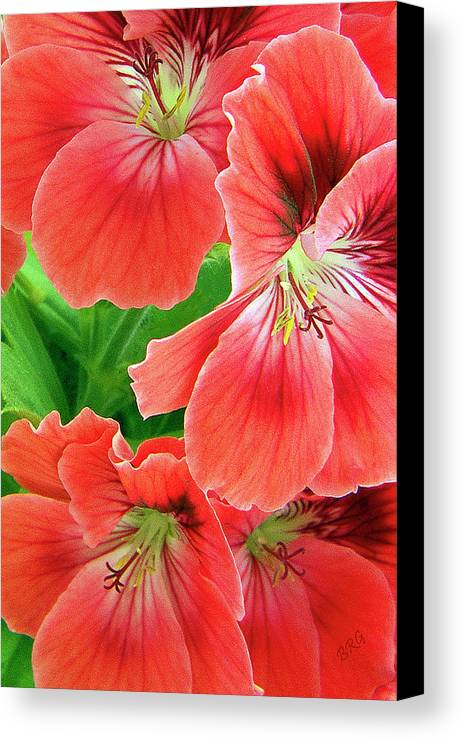 Red Canvas Print featuring the photograph In The Garden. Geranium by Ben and Raisa Gertsberg