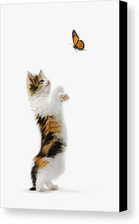 Active Canvas Print featuring the photograph Kitten And Monarch Butterfly by Wave Royalty Free