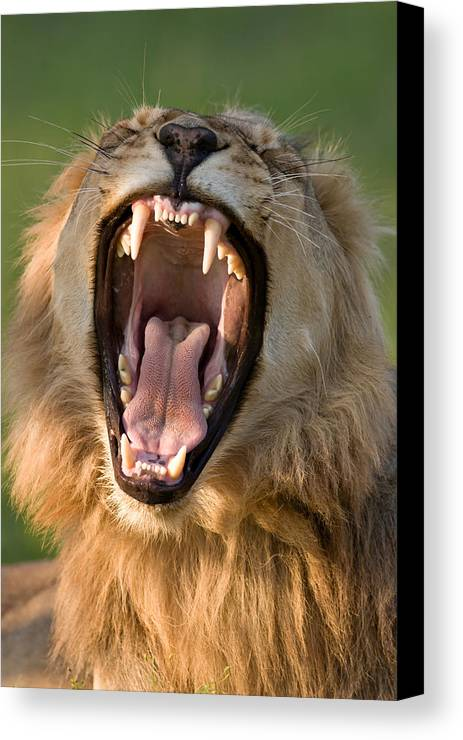 South Canvas Print featuring the photograph Lion by Johan Swanepoel