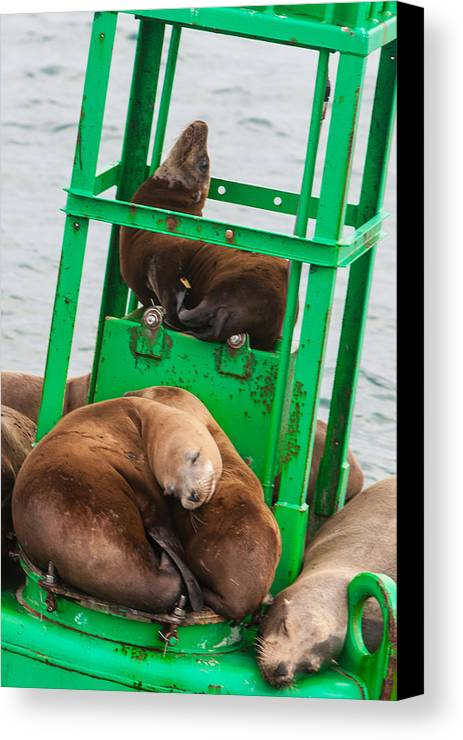 Seal Canvas Print featuring the photograph Look At The One In The Middle by Scott Campbell