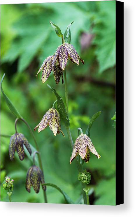 Mission Bells Canvas Print featuring the photograph Mission Bells Fritillaria Grow by Robert L. Potts