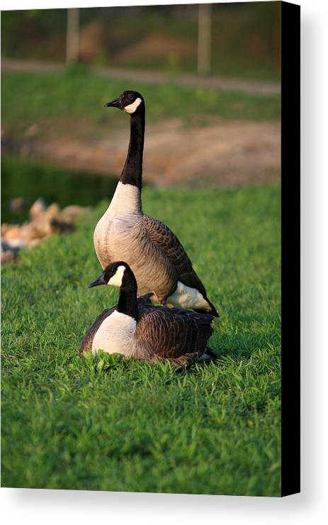 Goose Canvas Print featuring the photograph New Family by David Dufresne