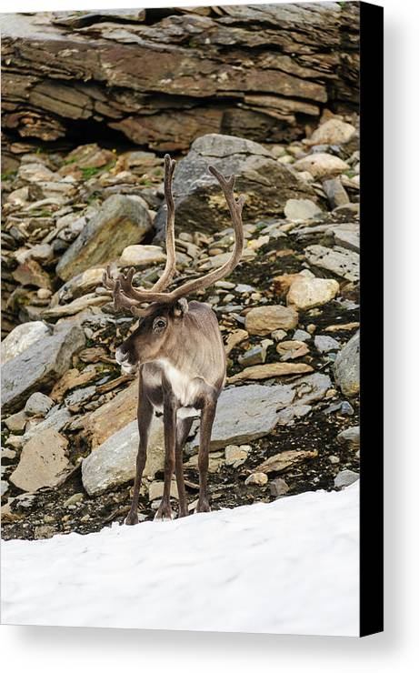 Animal Canvas Print featuring the photograph Norway, Troms Male Reindeer (rangifer by Fredrik Norrsell