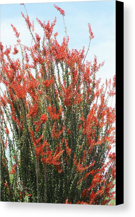 Ocotillo Canvas Print featuring the photograph Ocotillo After A Heavy Rain by Tom Janca