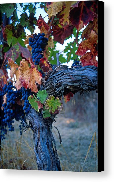 Wine Canvas Print featuring the photograph Old Vine by Kathy Yates
