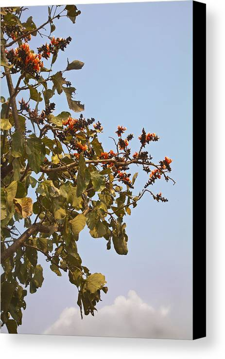 Vertical Canvas Print featuring the photograph Orange Blossom Of Kesuda Blue Sky by Kantilal Patel