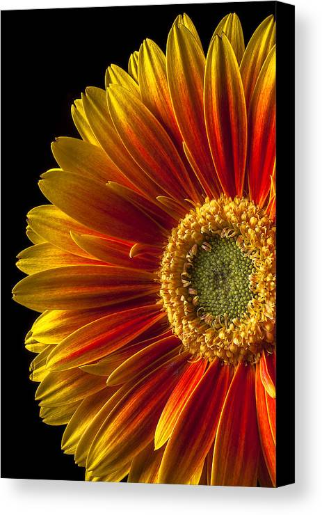 Gerbera Canvas Print featuring the photograph Orange Yellow Mum Close Up by Garry Gay