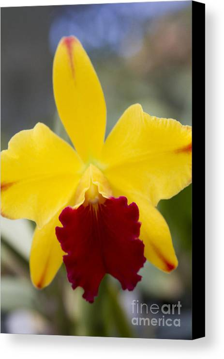 Aloha Canvas Print featuring the photograph Orchid Beauty - Cattleya - Pot Little Toshie Mini Flares Mericlone Hawaii by Sharon Mau