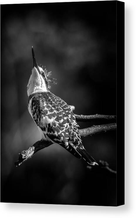 Bird Canvas Print featuring the photograph Pied Kingfisher by David Van der Want