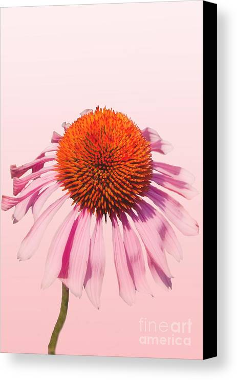 Echinacea Canvas Print featuring the photograph Pink by K Hines