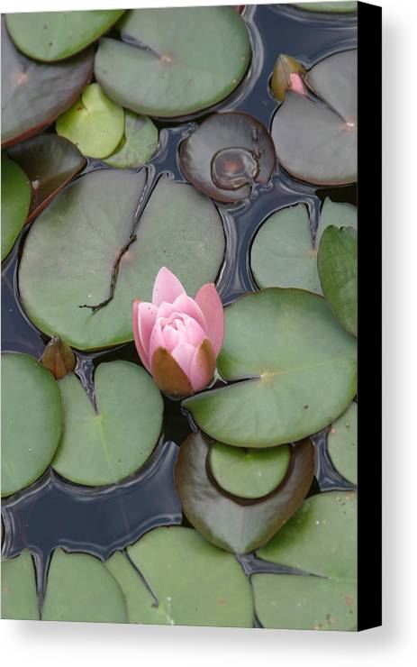 Lilly Canvas Print featuring the photograph Pink Lilly by Dervent Wiltshire