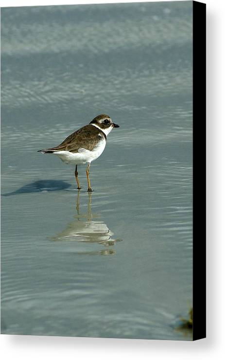 Plover Canvas Print featuring the photograph Plover by Kim Lincicome