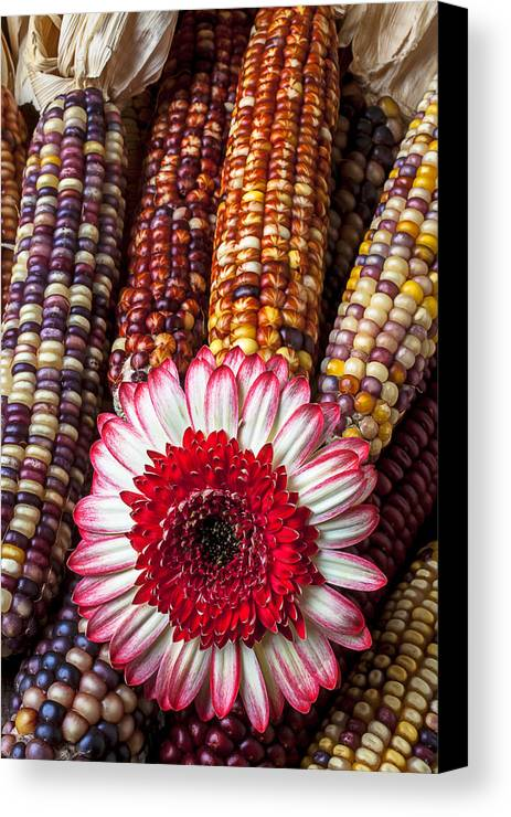 Indian Canvas Print featuring the photograph Red And White Mum With Indian Corn by Garry Gay