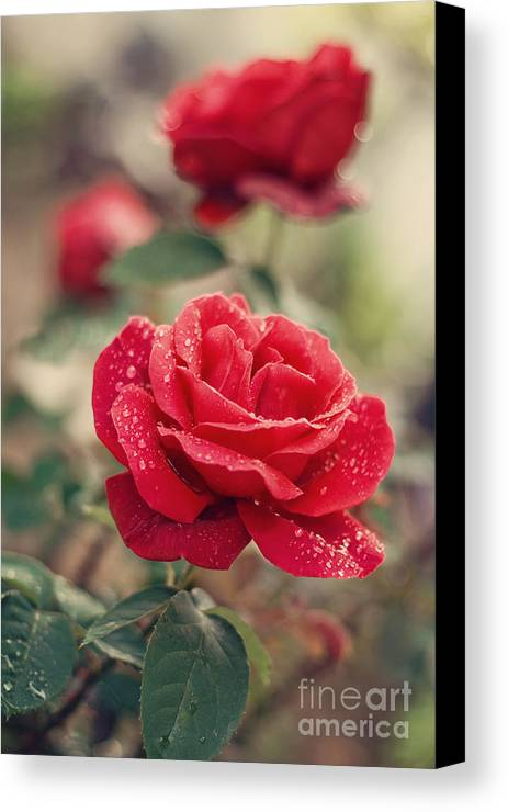 Rose Canvas Print featuring the photograph Red Rose After Rain by Diana Kraleva