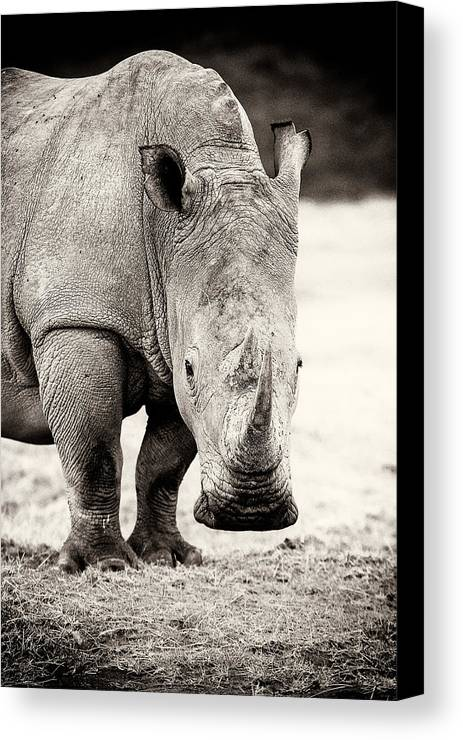 Africa Canvas Print featuring the photograph Rhino After The Rain by Mike Gaudaur