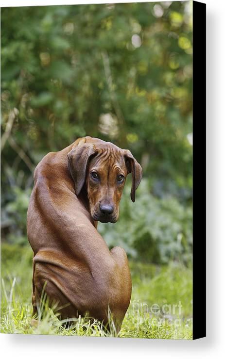 Rhodesian Ridgeback Canvas Print featuring the photograph Rhodesian Ridgeback Puppy by Jean-Michel Labat
