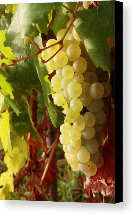 Ripe Grapes Canvas Print featuring the photograph Ripe Grapes by Alex Sukonkin