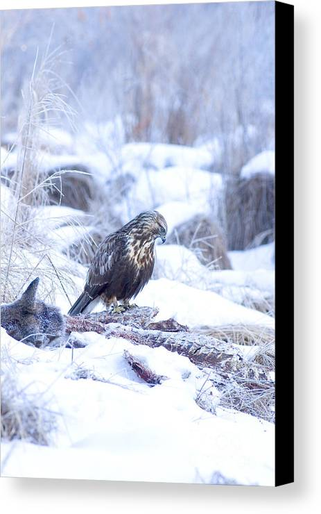 Fauna Canvas Print featuring the photograph Rough Legged Hawk On Deer Carcass by Gregory K Scott