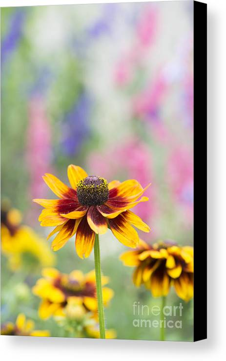 Rudbeckia Hirta Canvas Print featuring the photograph Rudbeckia Hirta by Tim Gainey