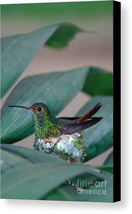 Fauna Canvas Print featuring the photograph Rufous-tailed Hummingbird On Nest by Gregory G Dimijian MD