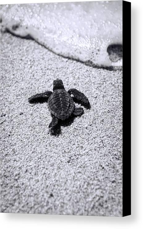 Baby Loggerhead Canvas Print featuring the photograph Sea Turtle by Sebastian Musial