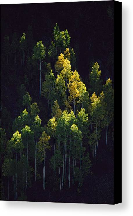 Color Image Canvas Print featuring the photograph Sunlight Highlights Aspen Trees by Melissa Farlow