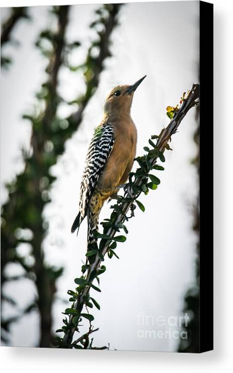Bird Canvas Print featuring the photograph The Gila Woodpecker by Robert Bales