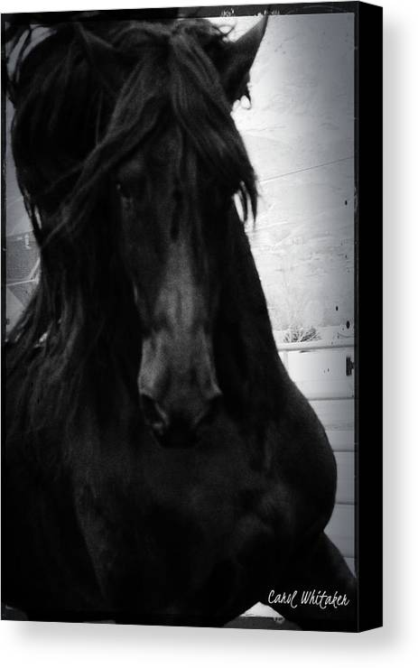 Friesian Stallion Canvas Print featuring the photograph The King by Royal Grove Fine Art