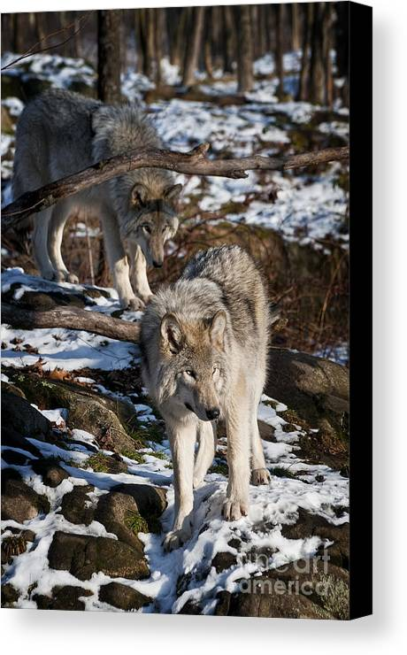 Timber Wolf Canvas Print featuring the photograph Timber Wolf Pictures 957 by World Wildlife Photography