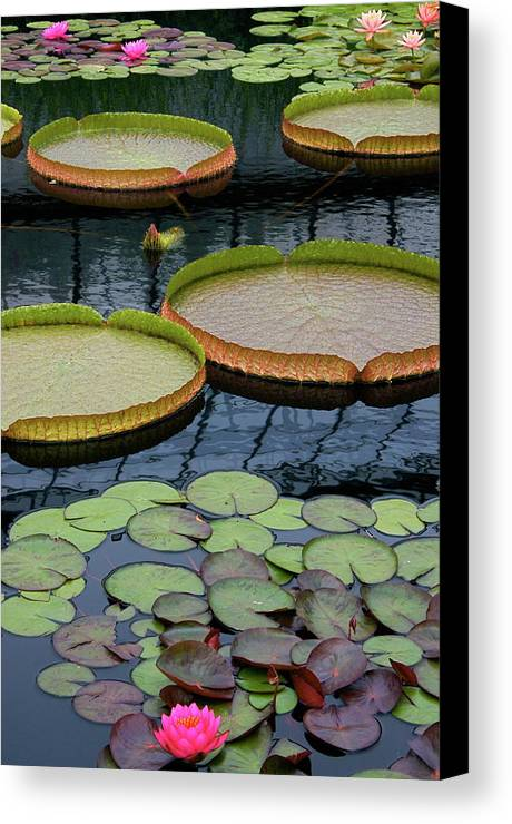 Aquatic Plants Canvas Print featuring the photograph Waterlilies And Platters 2 by Byron Varvarigos