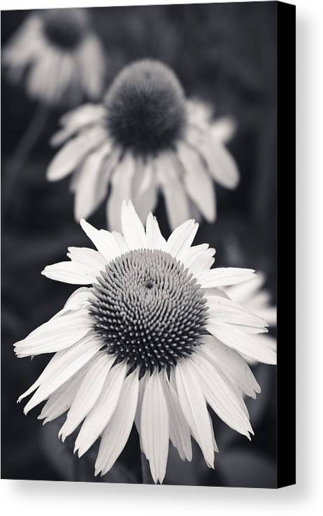 3scape Photos Canvas Print featuring the photograph White Echinacea Flower Or Coneflower by Adam Romanowicz