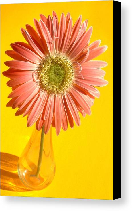 Gerbera Photographs Canvas Print featuring the photograph 0730c2-002 by Kimberlie Gerner