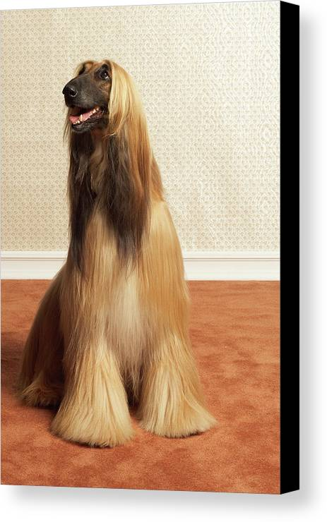 Vertical Canvas Print featuring the photograph Afghan Hound Sitting In Room by Dtp