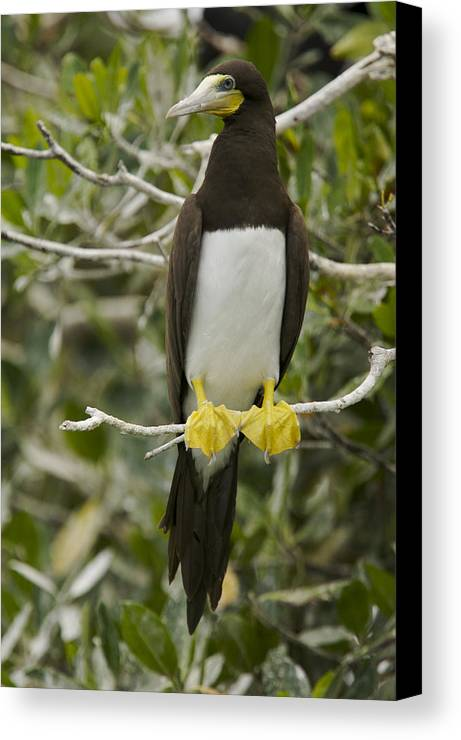 Photography Canvas Print featuring the photograph Brown Booby, Sula Leucogaster by Tim Laman