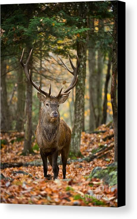Elk Canvas Print featuring the photograph Bull Elk by Michael Cummings