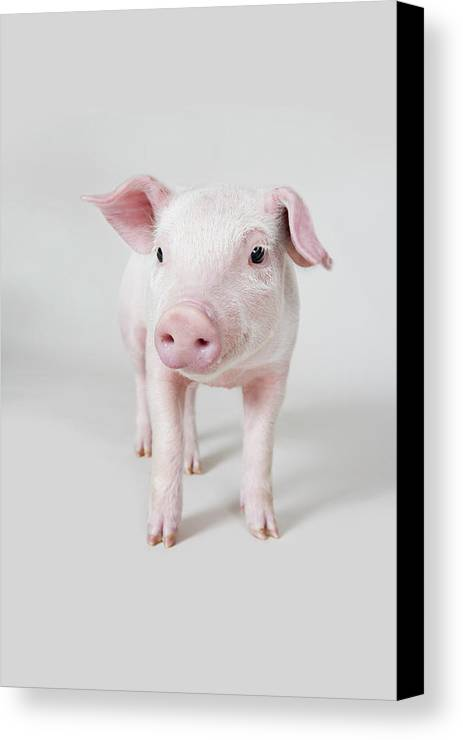 Vertical Canvas Print featuring the photograph Piglet, Studio Shot by Paul Hudson