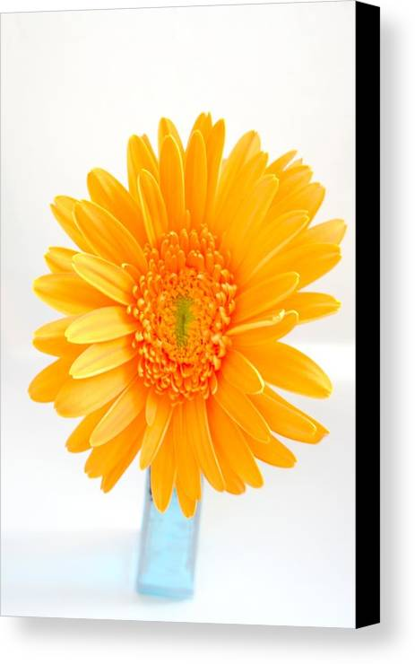 Gerbera Photographs Canvas Print featuring the photograph 1695c-002 by Kimberlie Gerner