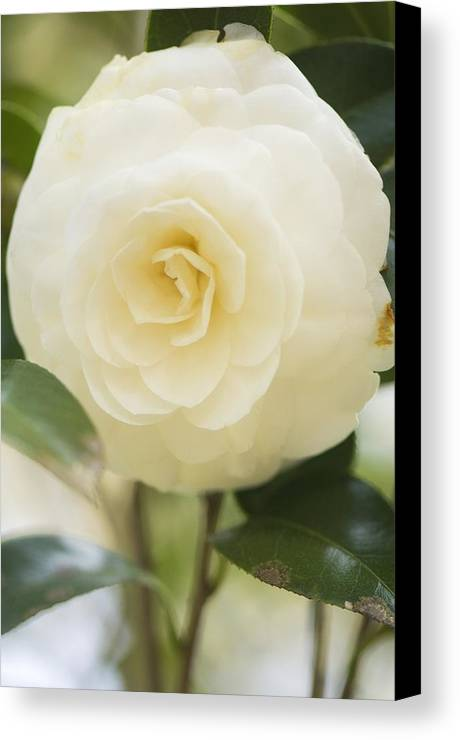 Camellia Japonica Canvas Print featuring the photograph Camellia Japonica by Maria Mosolova