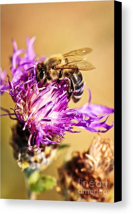 Honey Canvas Print featuring the photograph Honey Bee by Elena Elisseeva