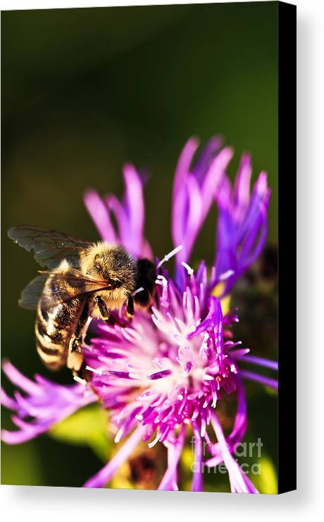 Honey Canvas Print featuring the photograph Honey Bee by Elena Elisseeva