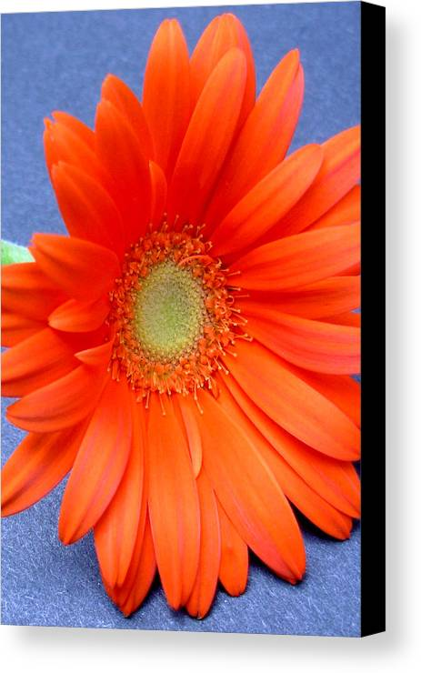 Gerbera Photographs Canvas Print featuring the photograph 67441a by Kimberlie Gerner