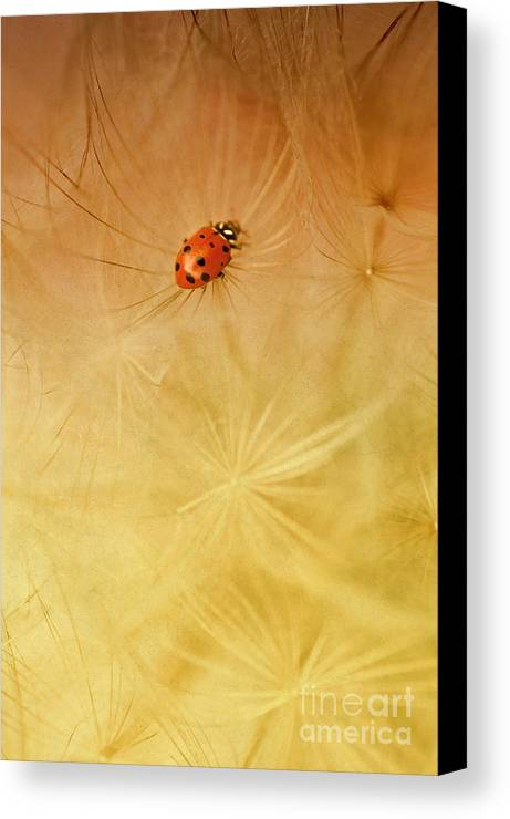 Insect Canvas Print featuring the photograph Dandelions by Iris Greenwell
