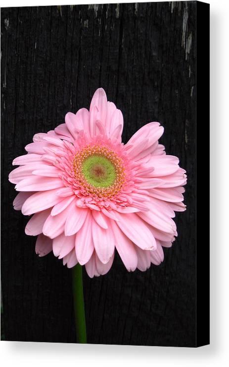Gerbera Photographs Canvas Print featuring the photograph 899911a2 by Kimberlie Gerner