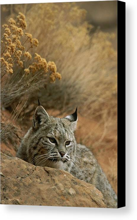 Animals Canvas Print featuring the photograph A Bobcat by Norbert Rosing