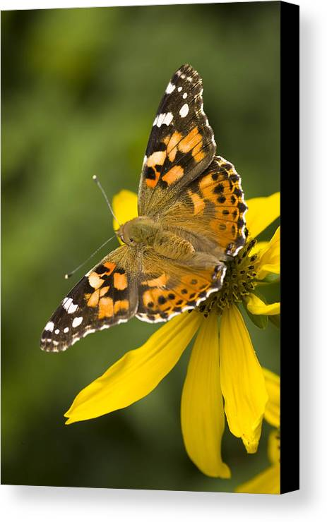 Jemez Mountains Canvas Print featuring the photograph A Butterfly Sits Atop A Yellow by Ralph Lee Hopkins