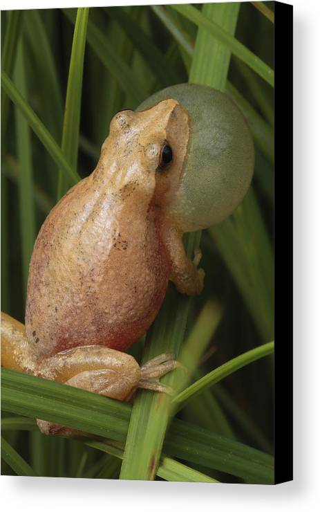 Maryland Canvas Print featuring the photograph A Spring Peeper Calls For A Mate by George Grall