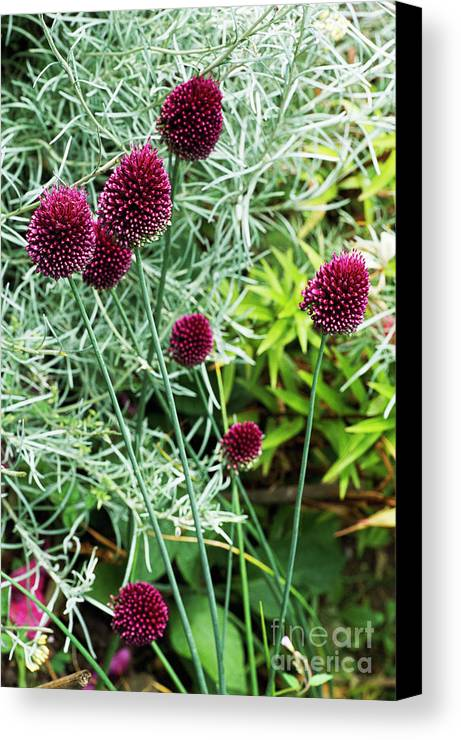 Allium Sphaerocephalum Canvas Print featuring the photograph Allium Sphaerocephalum Flowers by Archie Young